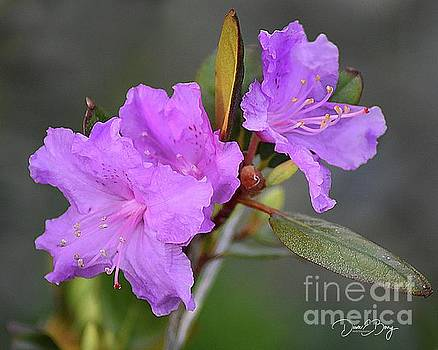Purple Azalea  by Diane E Berry