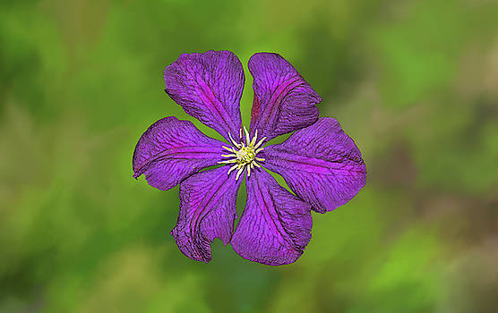 Purple Clematis Flower by Marv Vandehey