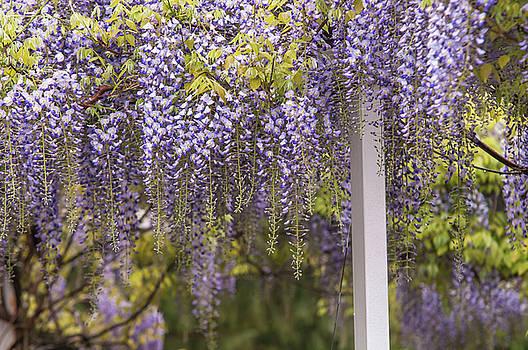 Jenny Rainbow - Purple Clusters of Wisteria Floribunda Lavender Lace