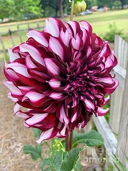 Purple Dahlia by Linda Covino