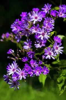 Purple Daisies in Spring by Bonnie Follett