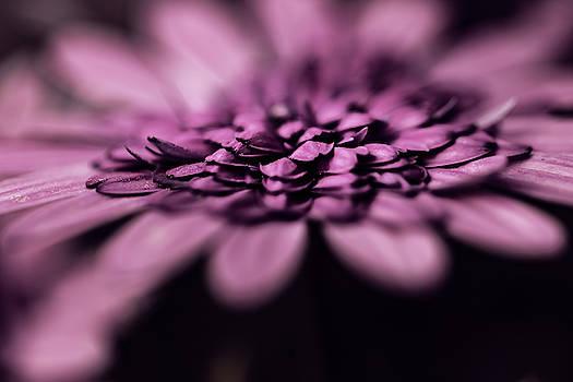 Purple Daisy in Full Bloom by Lenochka Blonsky