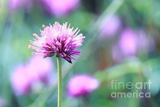 Purple Fields  by Kristi Cromwell