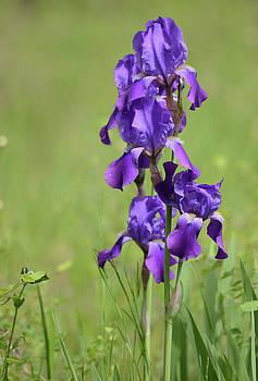Whispering Peaks Photography - Purple Iris