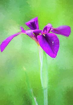 Purple on Green Louisiana Iris by Kathy Clark