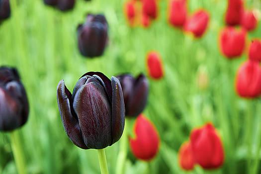 Purple tulip by Lukas Kerbs