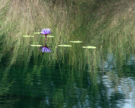 Purple Water Lily Amid the Grasses by Mitch Spence