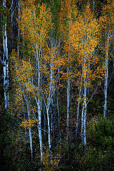 Quaking Aspens Autumn Colors by David Chasey