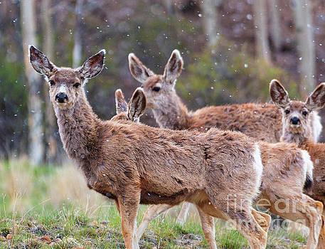 Steve Krull - Quartet of Mule Deer Herd on a Snowy Morning