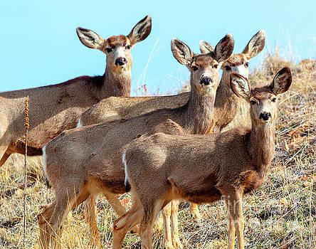 Steve Krull - Quartet of Mule Deer in the Rocky Mountain Springtime