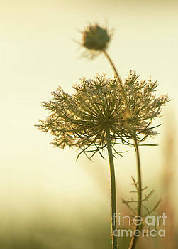 Queen Annes Lace by Sharon Mayhak