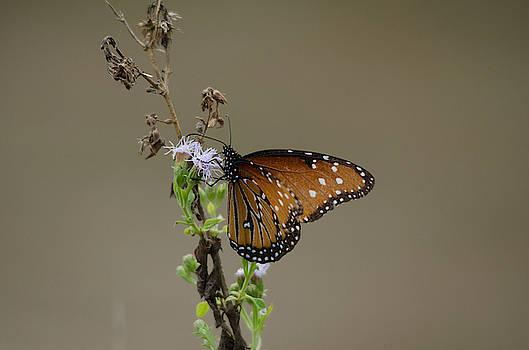 Queen Butterfly by James Petersen