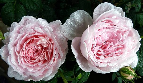 Queen Of Sweden Roses by Will Borden