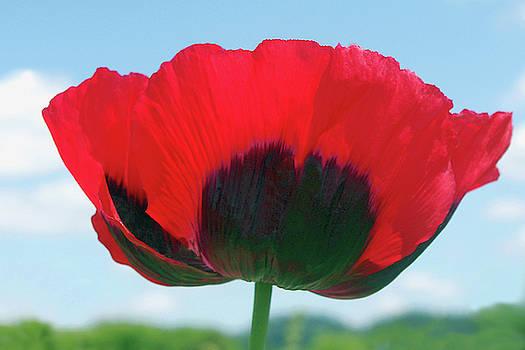 Queen of the Poppy Field by Debra Orlean