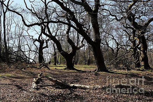 Quercus petraea by John Chatterley