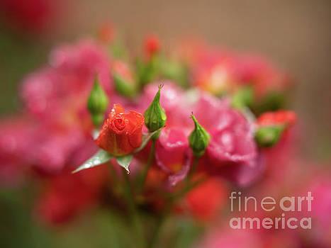 Quiet Roses Dream Cinco de Mayo by Mike Reid
