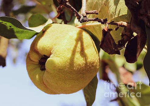 Quince fruit by Claudia M Photography