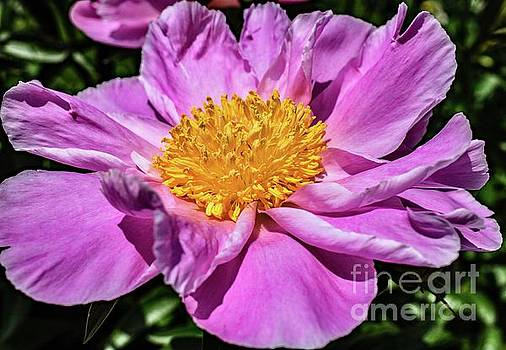 Cindy Treger - Quite The Charmer Bowl Of Beauty Peony