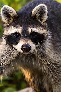 Raccon Closeup by Rick Grisolano Photography LLC