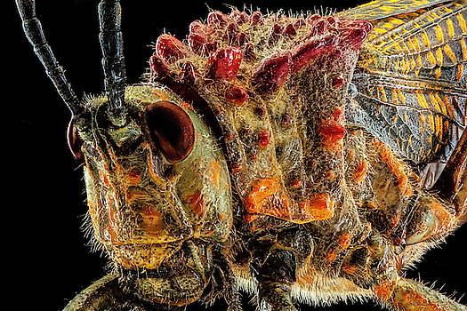 Rainbow Milkweed Locust 2X by Gary Shepard