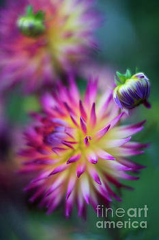 Rainbow Pom Dahlias Group by Mike Reid
