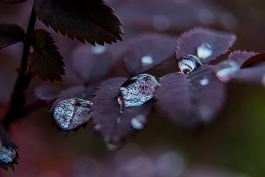 Raindrops on Roses by Tim Beebe