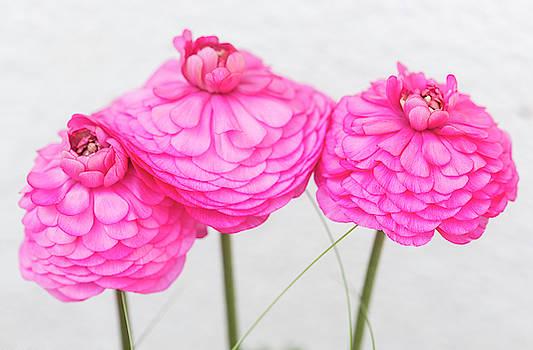 Ranunculus Asiaticus by Iris Richardson