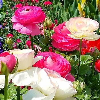 Ranunculus by Vijay Sharon Govender