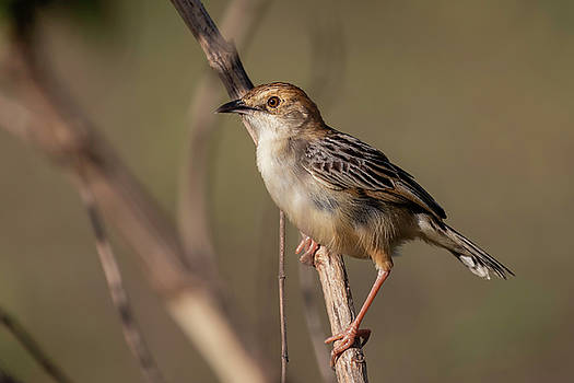 Rattling Cisticola by Thomas Kallmeyer