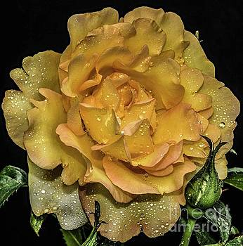 Razzle-dazzle Of A Gold Struck Rose by Cindy Treger