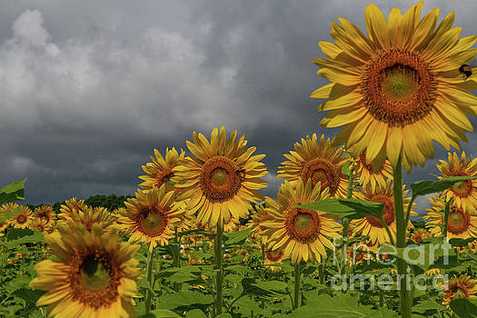 Dale Powell - Reaching for the Sun - Sunflowers