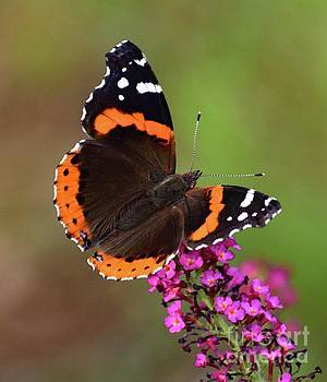 Cindy Treger - Red Admiral on Pink Delight