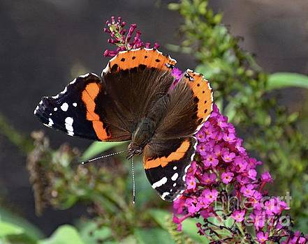 Cindy Treger - Red Admiral - Pure Perfection
