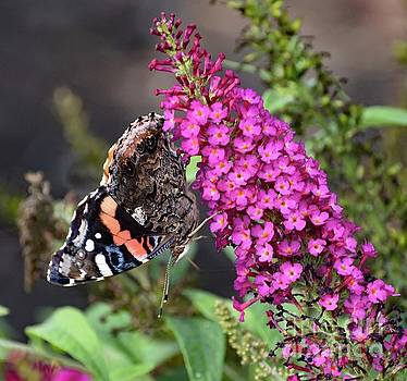 Cindy Treger - Red-admiral Side View