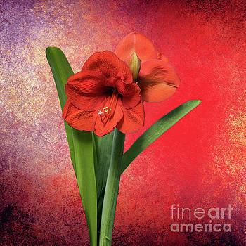 Red Amaryllis by Lynn Bolt
