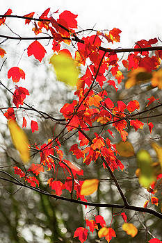 Red and Gold Autumn Leaves by Helen Northcott