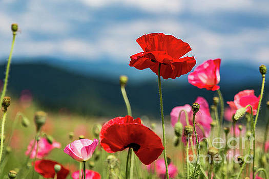 Lisa Lemmons-Powers - Red and Pink Poppies