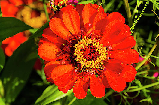 Red and Yellow Stunner by Paul Croll