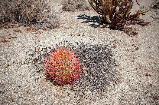Red Barrel Cactus and Mesquite by Mark Duehmig