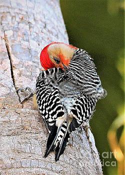 Diann Fisher - Red-bellied Male Woodpecker
