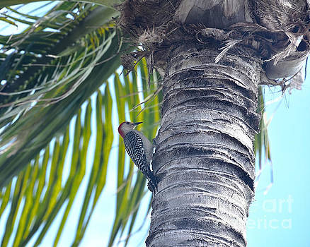 Red-bellied Woodpecker on a Coconut Palm Tree by Catherine Sherman