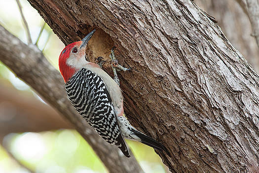 Paul Rebmann - Red-Bellied Woodpecker