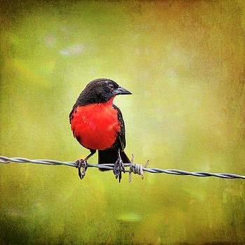 Red Breasted Blackbird Costa Rica by Joan Carroll