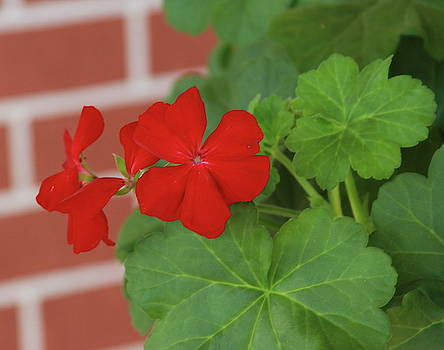 Cathy Lindsey - Red Brick And Geraniums 2