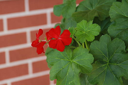 Cathy Lindsey - Red Brick And Geraniums