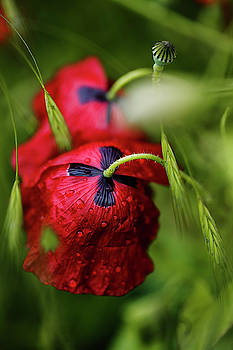 Red Corn Poppy Flowers with Dew Drops by Nailia Schwarz