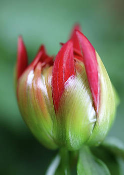Red Dahlia Bud Starting To Open Up by Johanna Hurmerinta