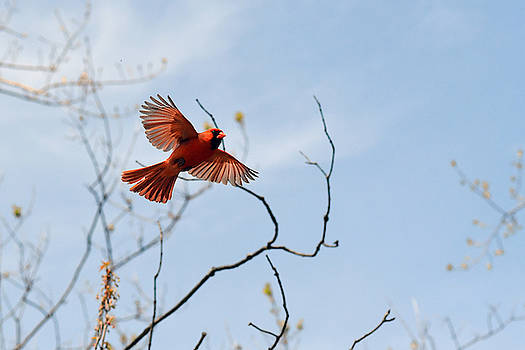 Red feathers in-flight by Asbed Iskedjian