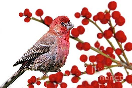 Red Finch on Red Berries by Janette Boyd