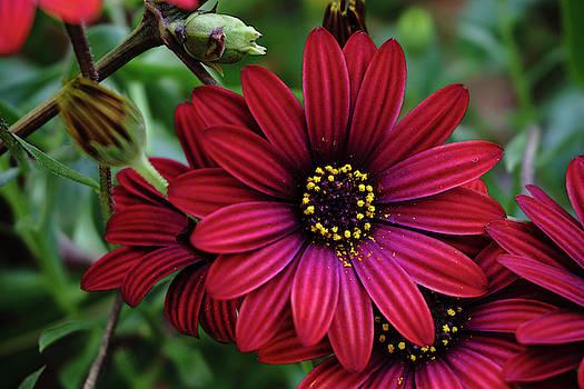 Red Flower - 19-5611 by Tari Kerss